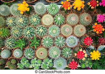 kaktusz, változatosság