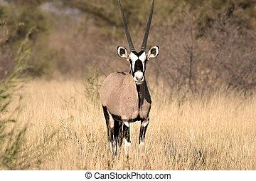 kalahari, central, gemsbok