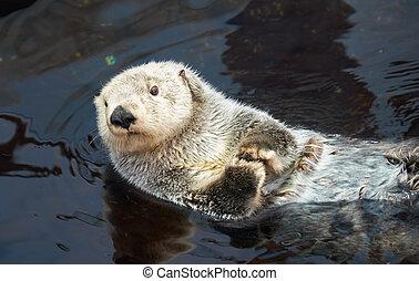 Kalan Sea otter in water - Kalan Sea otter (Enhydra lutris)...
