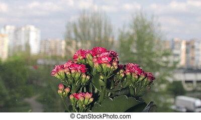 kalanchoe, цветок, красный, открытие