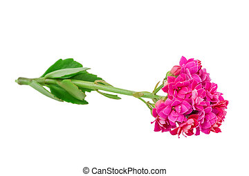 Kalanchoe blooms isolated on white background