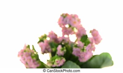 Kalanchoe Calandiva flowers