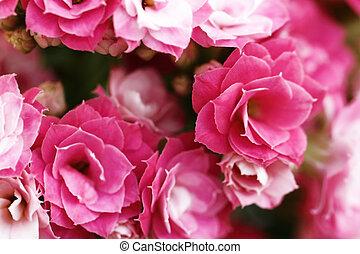 Kalanchoe flower blossoms (close up)