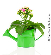 Kalanchoe flower in a water-pot isolated on white