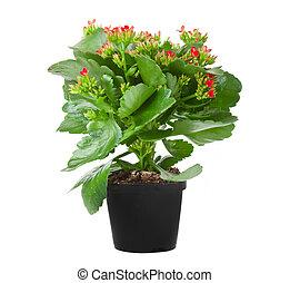 kalanchoe, flowering roślina, w, garnek