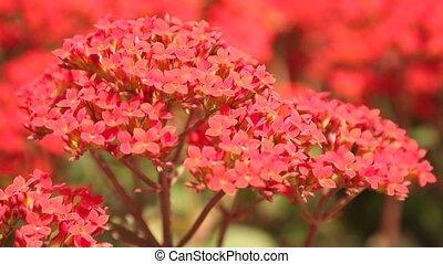 Kalanchoe Red Ornamental Garden Flowers HD - Kalanchoe...