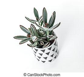 kalanchoe, tomentosa, roślina, w, niejaki, skandynaw, styl, garnek
