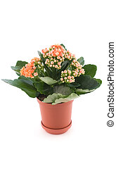 Kalanchoe with red flower in pot