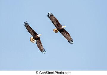 kale adelaar, tijdens de vlucht
