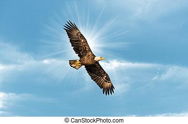 kale adelaar, vliegen, in, blauwe hemel, met, zon, op, vleugel