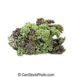 Kale cabbage isolated