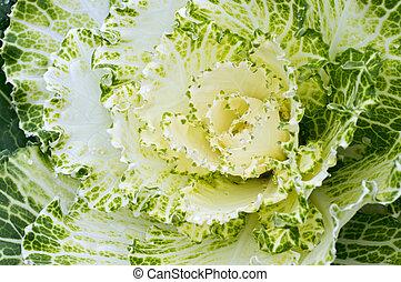 Kale Closeup