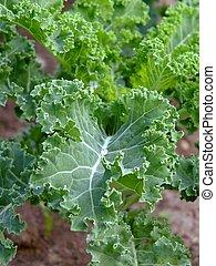 Kale - Image of kale in a organic garden