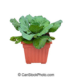 Kale in plant pot isolated on white background.