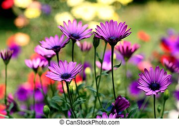 Colorful purple, yellow & red Afican daisies in a summer garden.