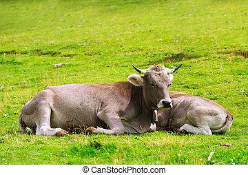kalf, koe
