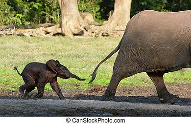 kalf, mamma, looppas, elefant