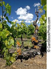 kalifornia, winogrono, winorośle