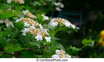 Kalina begins to bloom in early spring - Kalina begins to...