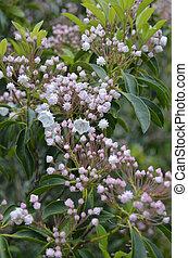 (kalmia, góra, latifolia), laur