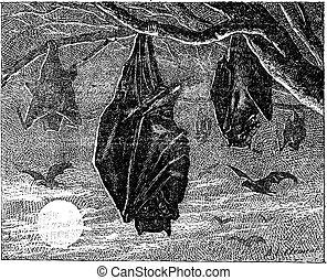kalong, voler, renard, grand, (pteropus, vampyrus), vendange, ou, engraving.