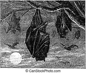 kalong, vuelo, zorro, grande,  (pteropus,  vampyrus), vendimia, o, Grabado