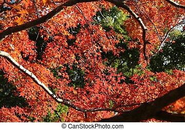 Kamakura autumn momiji - Autumn leaves in Japan - red momiji...
