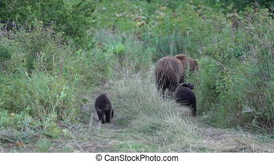 Kamchatka brown she-bear come out forest with three bear cubs and walking along country road with funny yearling beasts. Wild animals in natural habitat. Eurasia, Russian Far East, Kamchatka Peninsula