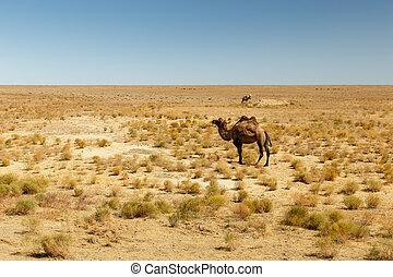 kameel, bactrian, kazachstan, steppes, kameel