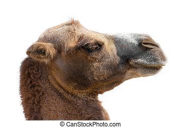 kameel, hoofd