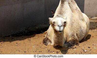 kameel, leugen, op, grond, in, dierentuin