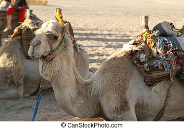 kamel, 1