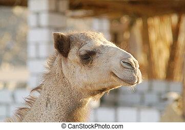 kamel, 23