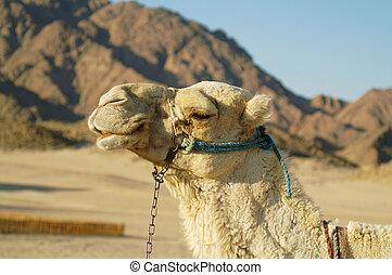 kamel, 5