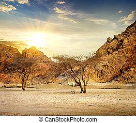 kamel, in, mountains