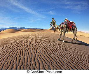 kamel, lied