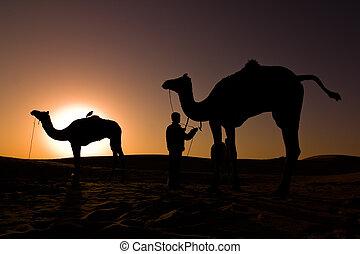 kamel, silhuetter, hos, solopgang