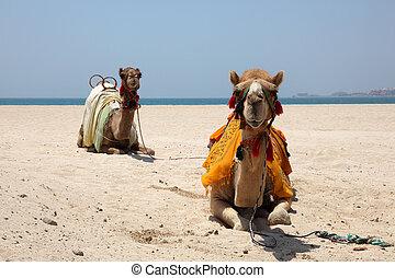 kamele, strand, in, dubai, vereinigte arabische emirate