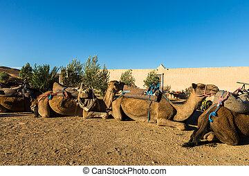 kameler, ind, den, lejr, i, den, berbers