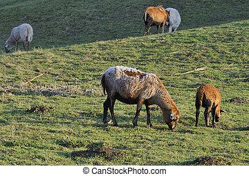 Kamerun Sheep - Ovis ammon aires, Kamerun Sheep