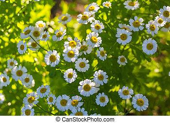 kamomill, sommar, blomningen, äng