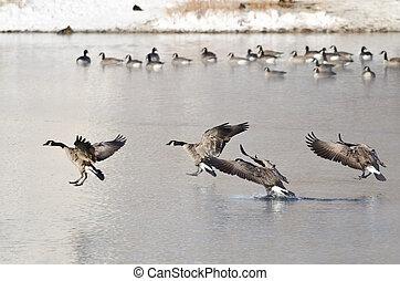 kanada gänse, landung, auf, a, winter, see
