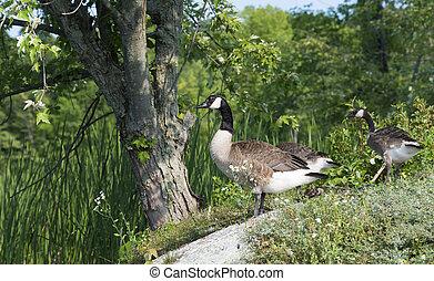 kanada geese, na, przedimek określony przed rzeczownikami, shoreline