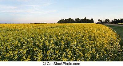 kanada, manitoba, napus), ernte, oilseed, feld, (brassica,...