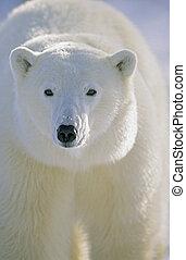 kanada, polarny, hal, (ursus, brindley, niedźwiedź,...