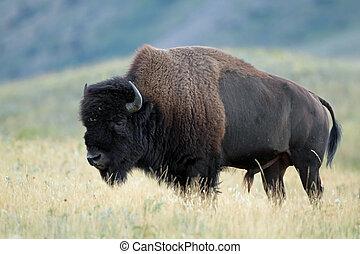 kanada, równiny, -, alberta, bizon