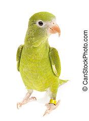 kanariefågel, vinge, parakit, brotogeris, versicolurus,...