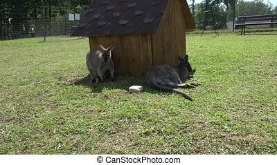 Kangaroo animals lie n grass near wooden house in zoological garden