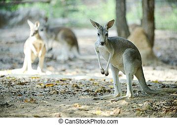 Kangaroo, any of six large species of Australian marsupials ...