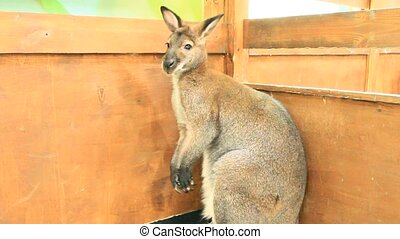 Kangaroo at zoo. Wallaby. Marsupial animal